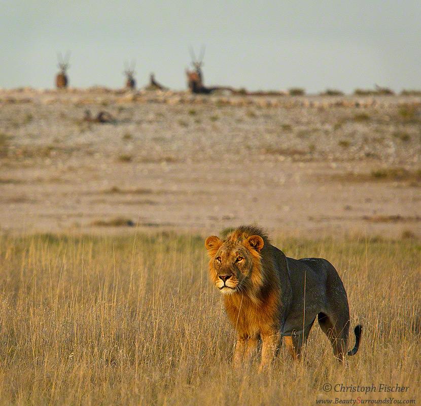 Lion-King-digimarc