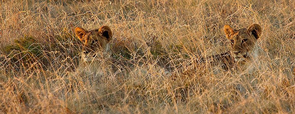 Lions-in-field-950