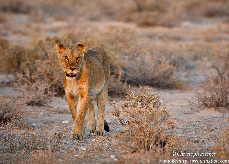lioness-web950