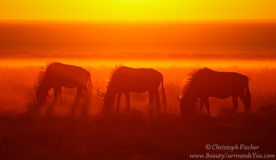 red-wildebeest-web